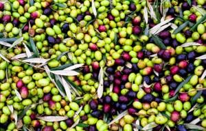 raccolta_olive013
